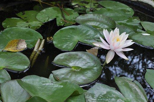 Lily, Gun Cotton, Flower