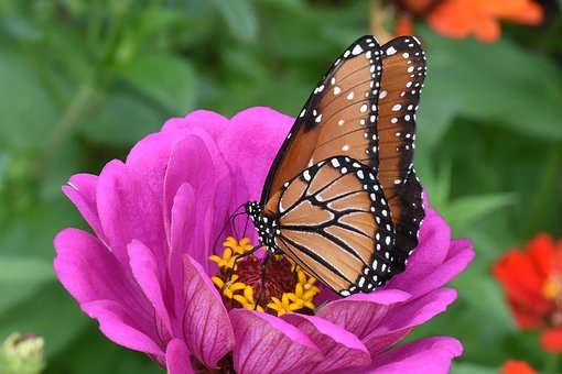 Monarch, Butterfly, Summer, Flower, Nature, Plant, Wing