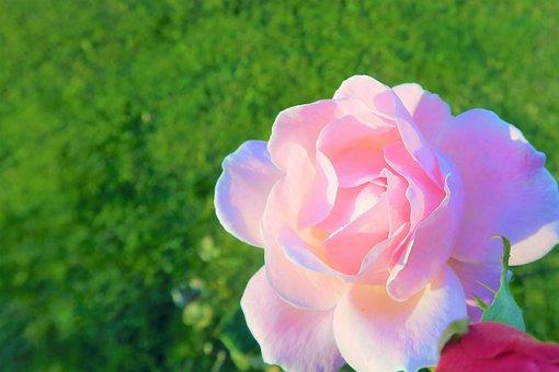 Rose, Pink, Delicate, Love, Nature, Flower, Romantic
