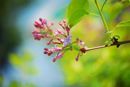 Lilac, Flowers, Spring, Plants, Nature, Purple, Garden