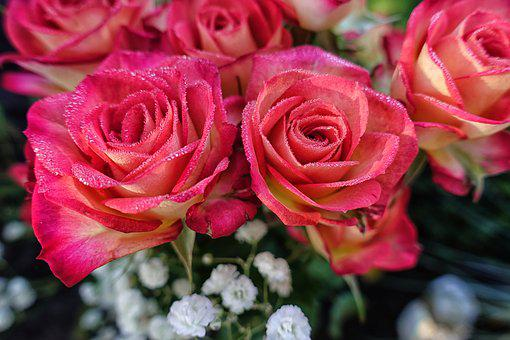 Roses, Flowers, Plant, Romance, Blossom, Bloom, Nature