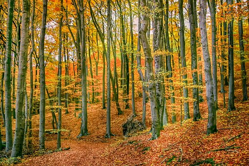 Autumn Forest, Nature, Tree, Deciduous Trees, Forest