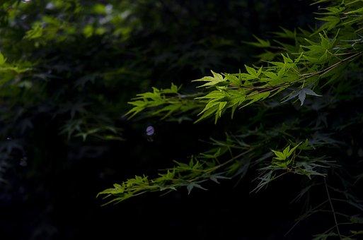 Hangzhou, Spring, Maple, Green