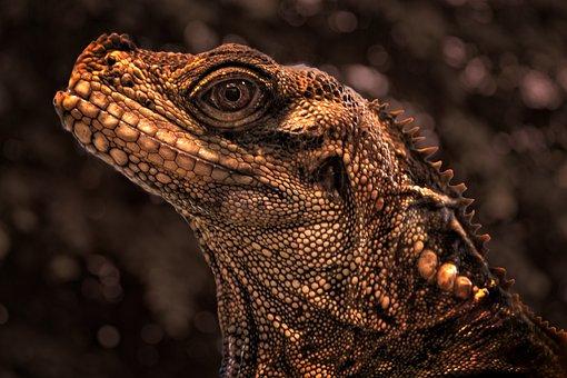 Iguana, Reptile, Nature, Exotic, Tropical, Water