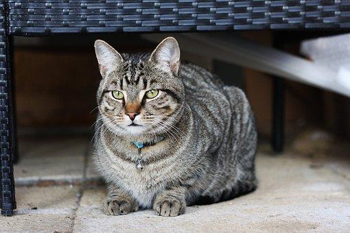 Cat, Tabby, Mutt, Pet, Animal, Kitten, Playful, Fur