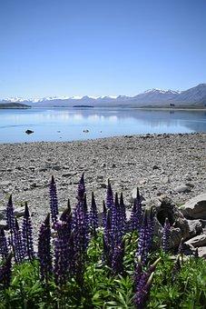 New Zealand, Tekapo, Lupins, Mountains, Lake, Snow