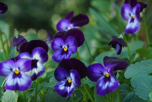 Violet, Purple, Lavender, Flowers, Garden, Spring