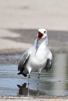 Leucophaeus Atricilla, Aztec Gull, Seagull