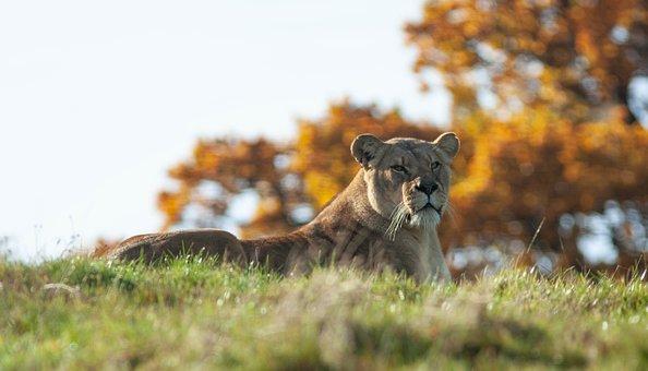 Lioness, Resting, Lion, Female, Predator, Nature