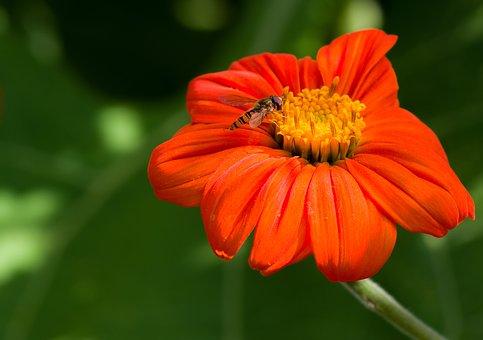 Flower, Orange, Button, Close Up, Macro, Nature
