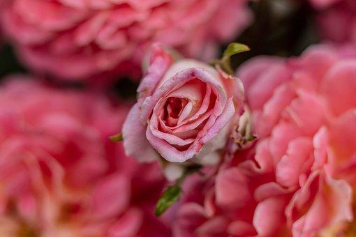 Macro, Rose, Nature, Flower, Blossom, Bloom, Garden