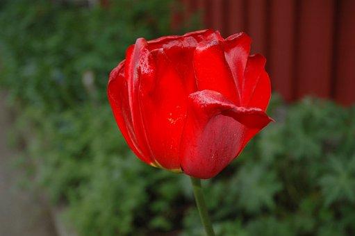 Red, Flower, Macro, Nature, Petal, Tulipan, Garden