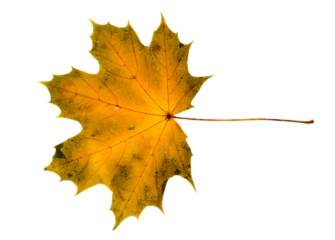 Maple, Acer, Tree, Leaves, Autumn, Maple Leaves
