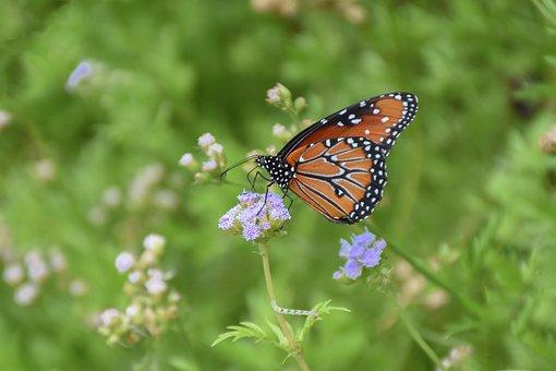 Monarch, Milkweed, Caterpillar, Butterfly, Wildlife