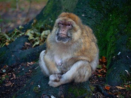 Barbary Macaque, Grumpy Monkey, Wet Monkey, Monkey