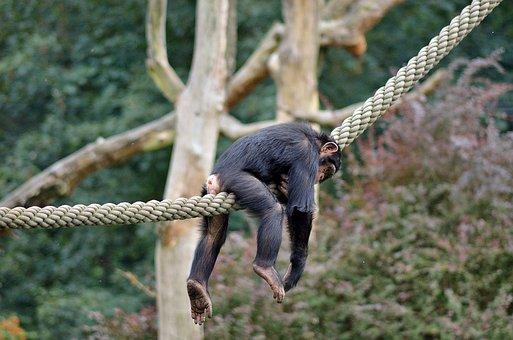 Lazy, Monkey, Zoo, Funny