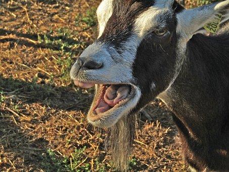Goat, Bratty, Nature, Farm, Mammals, Animals, Field