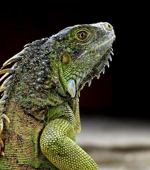 Iguana, Green Iguana, Reptile, Animals, Nature, Scaly