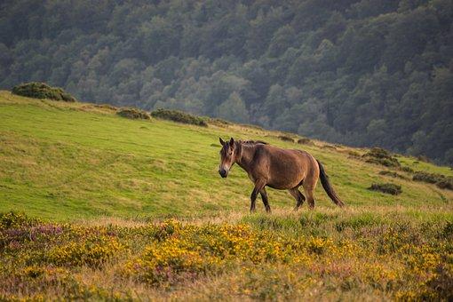 Exmoor Pony, Pony, Horse, Exmoor, Animal, Nature, Mane