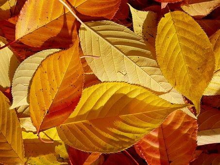 Autumn, Leaves, Fall Foliage, Nature, Japanese Cherry