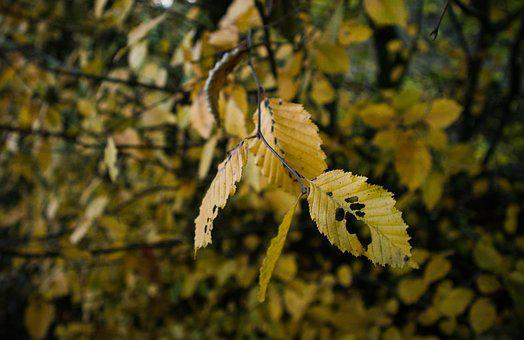 Autumn, Leaves, Nature, Fall Leaves, Fall Color, Golden