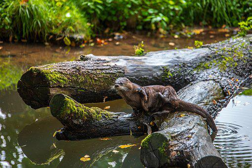 Otter, Tree, River, Nature, Water, Landscape, Forest