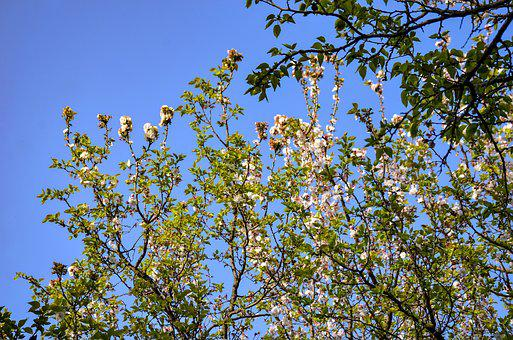 Apple Trees, Blue Sky, Sky, Spring, Blue, Tree, Nature