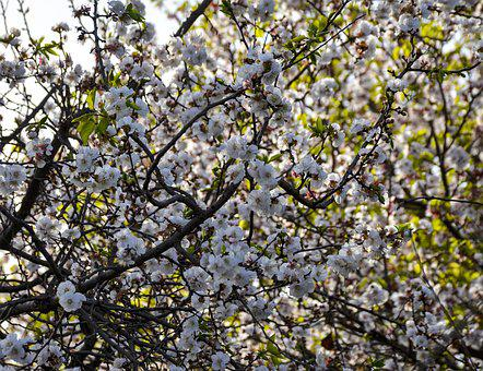 Spring, Orchard, Nature, Tree, Bloom, Branch, Garden