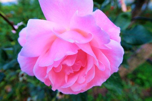 Rose, Pink, Gulpembe, Pink Roses, Flower, Nature, Love