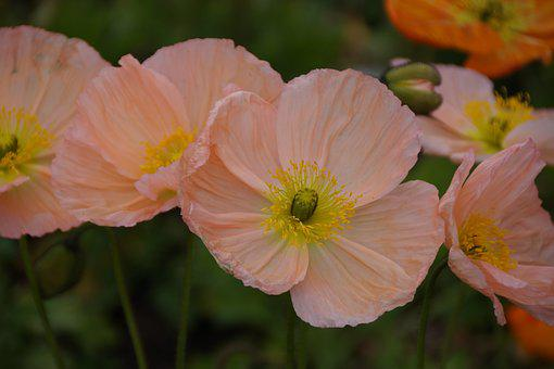 Soft, Delicate, Pink, Flowers, Poppies