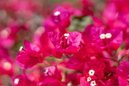 Flowers, Pink, Bloom, Spring, Nature, Blossom, Summer