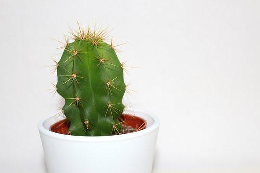 Cactus, Houseplant, Green, Plant, Nature, Botany