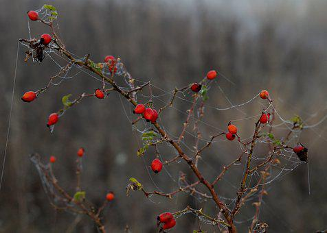 Maces, Fruit, Wild, Red, Plant, Spider Web, Autumn