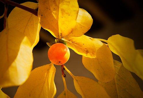 Persimmon Trefoil, Diospyros Lotus, Plum Tree-date Palm