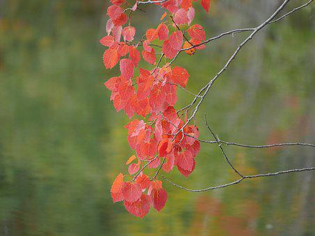 Red Leaves, Fall, Autumn, Foliage, October, Nature