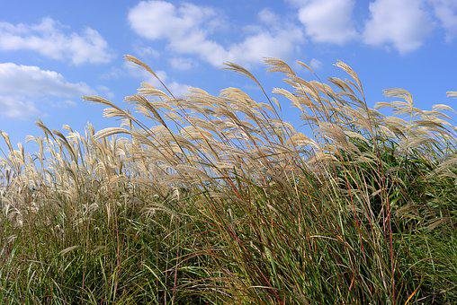 Reed, Autumn, Nature, Silver Grass, Reeds, Reed Beds