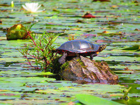 Turtle, Pond, Nature, Water, Reptile, Log, Little