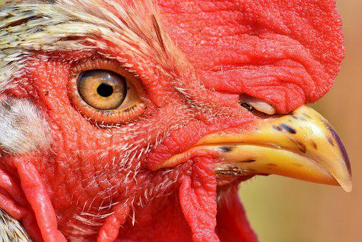 Hahn, Rooster Head, Gockel, Poultry, Cockscomb, Bill