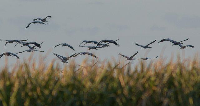 Crane, Birds, Animal World, Migratory Birds, Sky