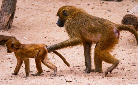 Animal, Monkey, Baboon, Sphinx-baboon, Mother And Child