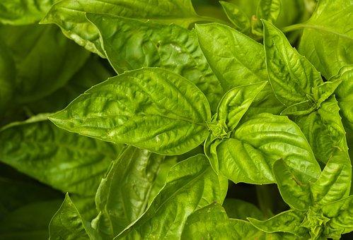 Basil, Spice, Herb, Food, Green, Fresh, Healthy, Herbs