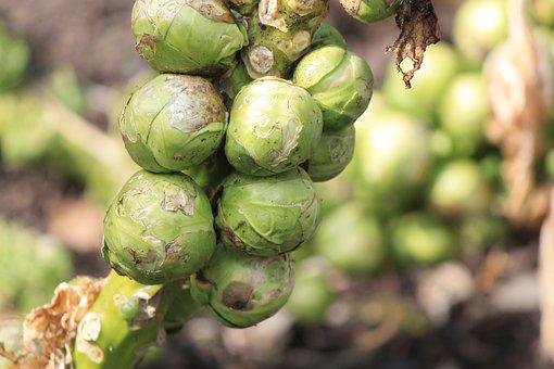 Sprouts, Brussels Sprouts, Gardening, Food, Vegetables