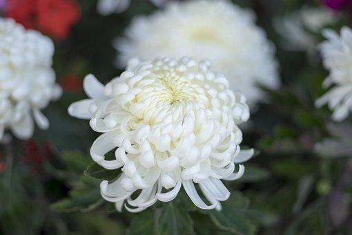 Flower, Autumn, Summer, Chrysanthemum, In The Fall