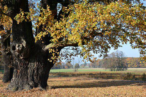 Oak, Deciduous Tree, Tree, Old, Centuries, Nature