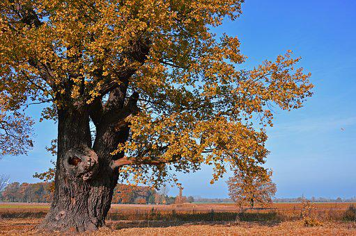 Oak, Tree, Deciduous Tree, Old, Centuries, Autumn