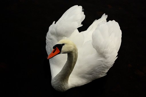 Bird, Birds, Swan, Nature, Wing, White, Water, Animals