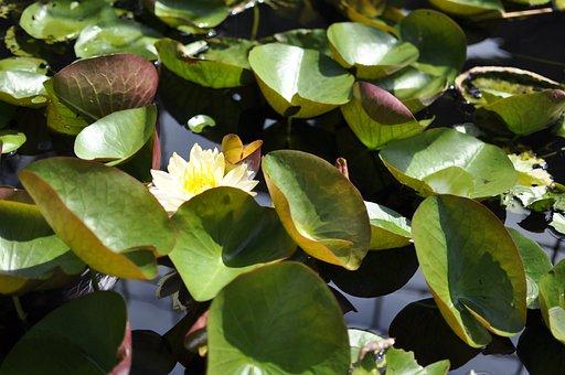 Lily, White Flowers, Gun Cotton