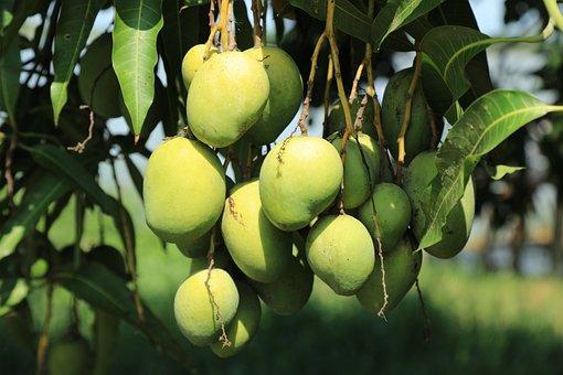 Wild, Mango, Tree, Jungle