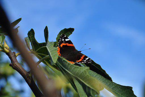 Butterfly, Autumn, Fig Tree, Insect, Wing