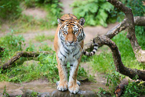 Tiger, Nuremberg, Tiergarten, Zoo, Close Up, Hunter